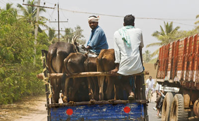 Transporting cattle outside Mysore, India
