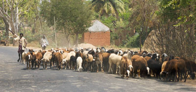 Farmers herding goats on a countryside road outside of Mysore