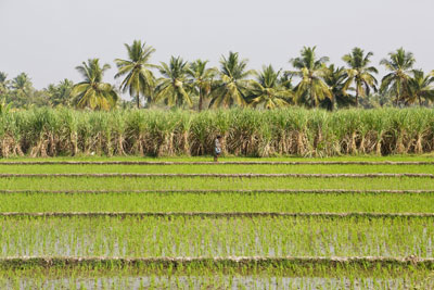 Lush green rice field plantations with a lone farmer in India